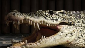 Izrael se obává pohromy v podobě přemnožených krokodýlů v řece Jordán (ilustrační foto)