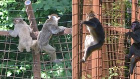 Makakové utekli z olomoucké zoo.