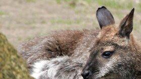 """""""Můžete vidět celé rodiny klokanů, kteří jsou mrtví,"""" řekl listu The Australian veterinář Greg Curran, jenž vede výzkum zdraví klokanů a tomuto oboru se věnuje 30 let."""