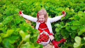 Samosběr jahod je u Čechů stále oblíbenější. Rodiny je berou jako výlet.