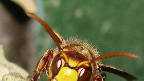 Včely v Evropě vymírají, v Česku se jim daří (ilustrační foto)