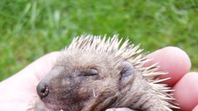 Záchranné stanice přijaly například 80 ježků. (Ilustrační foto)