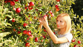 Trhání jablek (ilustrační foto)