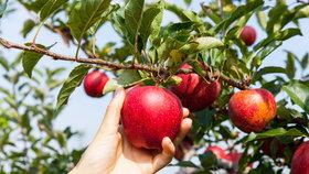 Jak vybrat a skladovat jablka?