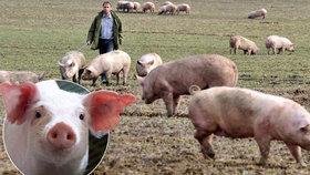 Čeští chovatelé prodávají vepřové pod cenou a bojí se zavírání chovů. Maso z dovozu je prý dotované.