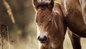 Hříbě divokého koně poprvé spatřili na pastvinách ochranáři včera.