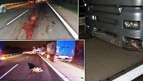 Dva kamiony smetly na dálnici D11 několik divokých prasat.