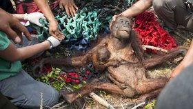 Pralesy v Indonésii jsou kvůli palmovému oleji vypalovány. V požárech často zůstávají uvězněni orangutani.