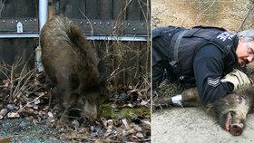 Policista zalehl divočáka vlastním tělem!