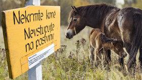 Nekrmte divoké koně, jejich žaludky na to nejsou připravené.