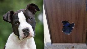 Pes z Opavy už nechtěl být doma sám, tak se prokousal dveřmi.