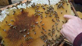 500 otrávených včelstev a málo medu: Za umírající roje mohou i zemědělci.