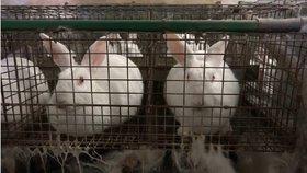 Klecové chovy králíků se dostaly do hledáčku EU.