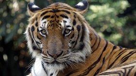 Hlášení o tygrovi na Šumavě zaměstnalo německou policii.