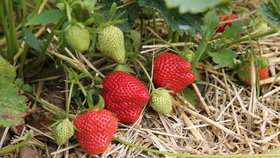 Nejvíce pesticidů bylo nalezeno v jahodách.