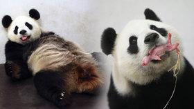 Zázrak! Panda v belgické zoo porodila mláďátko.