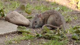 Nový Zéland ochrání své ptáky: Vláda se rozhodla vyhladit všechny krysy.
