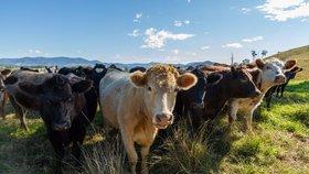 Na Novém Zélandu je chováno asi deset milionů krav, což představuje dvojnásobek lidské populace souostroví. Chov dobytka je klíčovou součástí novozélandské ekonomiky.