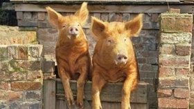 Domácí prasata, ilustrační foto