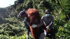 Indonésané se snaží o záchranu opic, které bojují s ohni i samotnými plantážemi na pěstování palmy olejné.