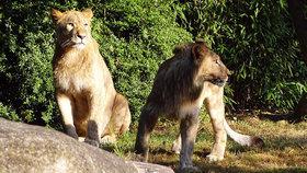 Lví samci Majo a Motshegetsi utekli z výběhu v lipské zoo.
