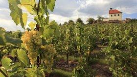 Podle expertů na víno mají letošní hrozny mimořádnou kvalitu.