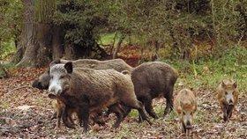 Prasata divoká jsou v Česku přemnožena.