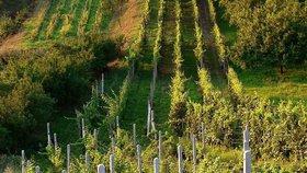 Mrazy postihly i vinice na jižní Moravě. Jak velké škody přinesly, zatím není jasné.