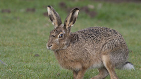 Zajíci v České Lípě trpí tularemií. Nákaza je přenosná na člověka (ilustrační foto)