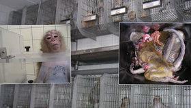 Píchání jedu do žaludku a vynucená rakovina, i takhle vypadají testy na primátech.