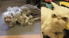 Perský kocourek byl naprosto obalený zplstnatělou srstí. Tvořila více než polovinu jeho váhy a dokonce mu kvůli ní atrofovaly zadní nohy.