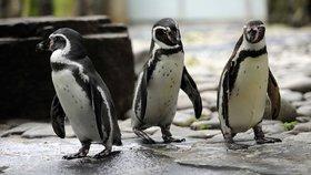 Tučňáci se mohou při změně času tvářit překvapeně.