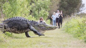 Vědci provedli zvláštní experiment, který zahrnoval zdrogování 40 aligátorů a pouštění hudby (ilustrační foto)