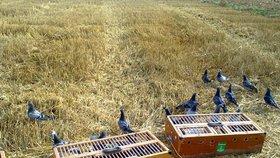Holubi podvodníků v loňském závodu na 750 kilometrů obsadili první čtyři místa, za což jejich majitelé inkasovali více než milion jüanů (3,3 milionu korun). Neuvěřitelný čas ptáků byl ale rozhodčím podezřelý a na trik přišli. (ilustrační foto).