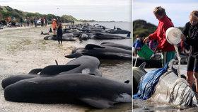 Na Novém Zélandu uvízlo na pláži více než 200 kulohlavců. Jedná se o druhý podobný případ v jednom týdnu.