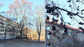V Krči visí na stromě desítky párů bot.