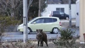 Opuštěnou Fukušimu ovládly gangy divočáků. Podle lovců není jasné, jestli městu vládnou lidé, nebo prasata.