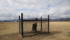 Opuštěnou Fukušimu ovládly gangy divočáků. Podle lovců není jasné, jestli oblasti vládnou lidé nebo prasata.