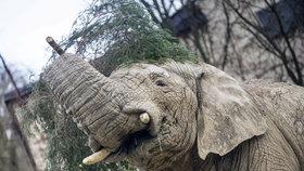 Samec slona afrického Kito uhynul v zoo ve Dvoře Králové nad Labem.