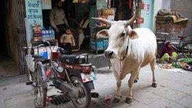 V Indii je kráva posvátné zvíře. Natolik, že kvůli němu chtějí zakázat lék, který zachraňuje ženy u složitých porodů.
