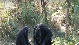 Adoptivní matka šimpanze Thomase mu po smrti začala čistit zuby.