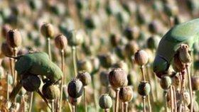 Ptáci ničí úrodu opia v Indii.