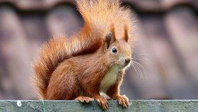 Konzumace veverek je po světě oblíbená. V Česku jsou ohrožené, jejich lov je zakázaný. (Ilustrační foto)