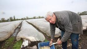 Plodina vyžaduje specifické půdní podmínky, které jsou právě na Mělnicku ideální.