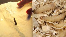 Housenka můry zavíječ voskový umí odbourávat plast.