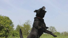 Černý pes Frank