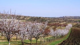 Mrazy, které Česko zasáhly v noci na dnešek, způsobily ovocnářům podle prvních odhadů škody za desítky milionů korun