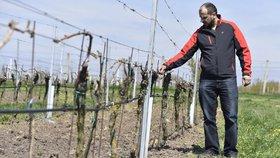 Jarní mrazy způsobily ničivé škody na vinicích.
