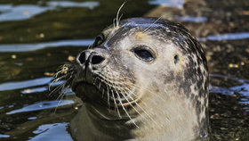 Rybáře napadlo 50 zuřících tuleňů, musel se schovat a čekat na záchranu. (ilustrační foto)
