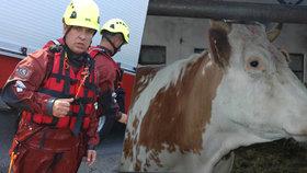 Strážník z České Lípy pomáhal topícímu se teleti, útočila na něj při tom kráva, mládě nepřežilo.